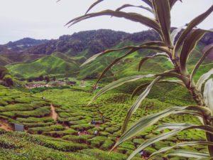 Indien Teefeld